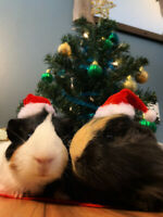2 male guinea pigs to rehome