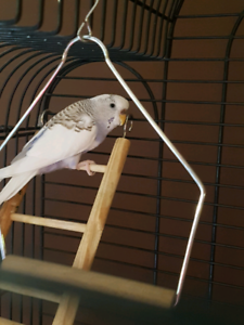 Female budgie + cage/stand