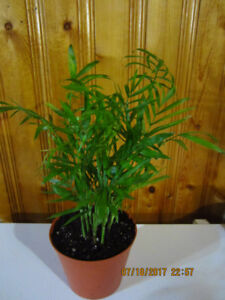Chinese Parlor Fan Palm Tree - Air Purifying Plant
