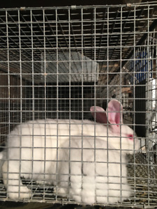 Meat Rabbits and Breeding Stock