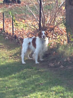 Beautiful Male Britany Spaniel Looking for a New Home