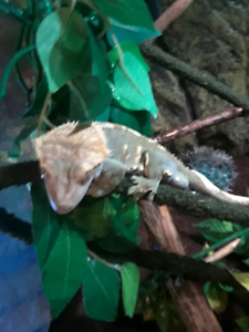 Wanted: female crested gecko, preferably almost breeding age
