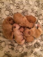 Poodle puppies, miniature