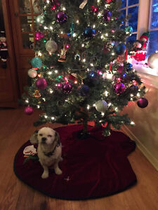 Poopers - Lost Male Dog - White with Black Spots ShihTzu Mix