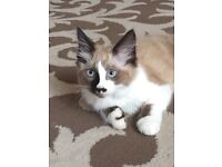 Beautifull fluffy half ragdoll kitten