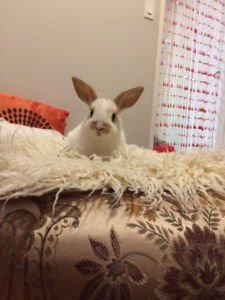 Looking for a foster parent for 6 months for tiny cuddly bunny
