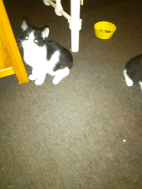 ONLY ONE MALE LEFT 🐈 black and white Clapham