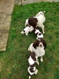 Properly KC registered English Springer Spaniel Pups