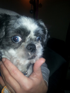 Missing 10y Old Shitzu 8pm, from Galbraith St.