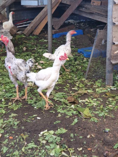 Gamefowl birds chickens for sale | Birds | Gumtree Australia