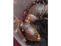 Baby giant African land snails