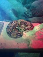 5.5 for red tail boa with aquarium and lights