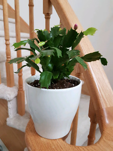 Christmas cactus blooms very pretty pink flowers in ceramic pot