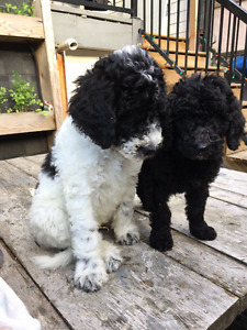 F1B Golden Doodle puppies now available from Eastvan Doodles