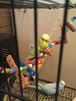 English Budgie Proven Pair