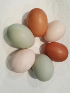 Chickens for sale - colourful egg layers!