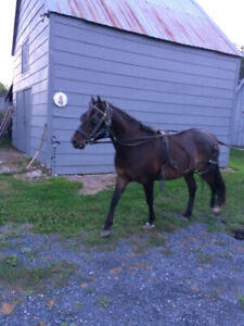 Morgan cross driving mare for sale