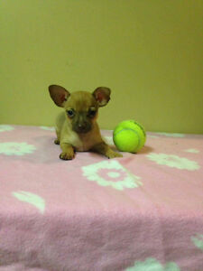 Holiday Special! Chihuahua Puppies! Sale Price Downtown-West End Greater Vancouver Area image 10
