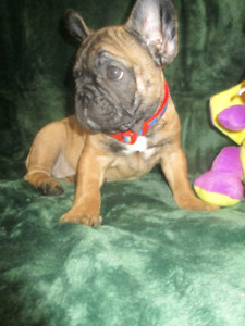 *RARE DEEP RED FRENCH BULLDOG HEALTHIEST PUPPIES*