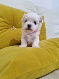 Maltese puppies 💗 Korean Dolls 💗 xxs Last two Boys 💙🧡