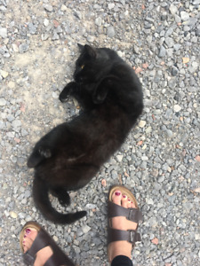 !FOUND! Young black male cat with amber eyes