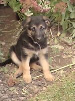 One Beautiful German Shepherd puppy ready for new loving home