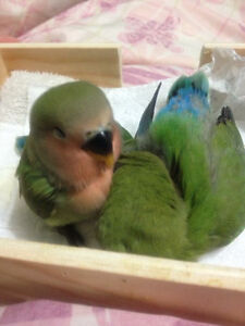 TWO BABY LOVE BIRDS FOR SALE