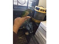 Beautiful hand reared Conure parrot for sale