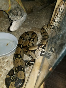 6ft Columbian Red Tail Boa forsale or trade