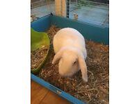 Lop eared girl rabbit