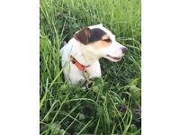 jack russell terrier male