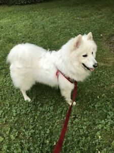 11 months puppy Samoyed for a new home