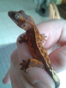 Baby Crested Geckos ready for Xmas!
