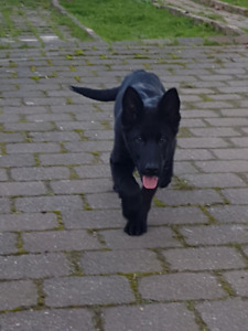 CKC  Registered Black German Shepherd Puppies