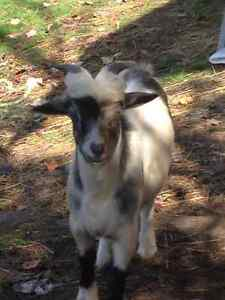 whether ed male goat