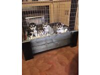 husky malamute pupS looking for new home 07572441630 two girls and one boy left