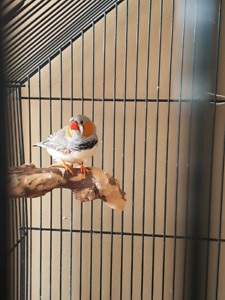 Zebra Finch Pair, cage and all accessories