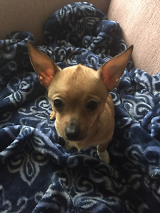2 female chiot chihuahua a vendre/ puppies for sale