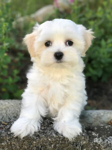 MALTESE PUP now ready