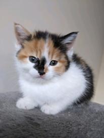 RESERVED Female kitten - part Siberian