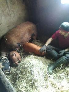 Porcs/ porcelets/ cochons à vendre