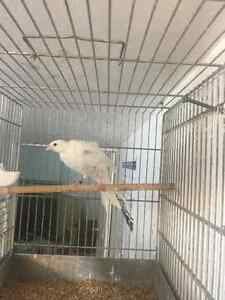 Dutch frill canary for sale