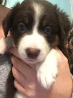ONE PUPPY LEFT!! Australian Shepherd Puppies!!