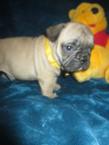 French Bulldog Top QUALITY Healthiest Puppies!