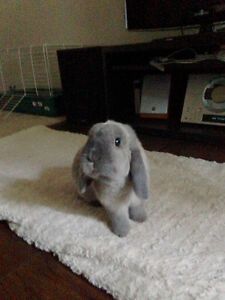 Holland Lop looking for new home