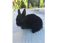 Two Black Netherland Dwarfs for sale