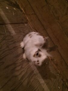 Miniature lion head bunny for sale Kitchener / Waterloo Kitchener Area image 1