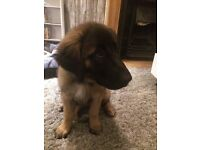12 Week Female Estrela Mountain Dog Puppy