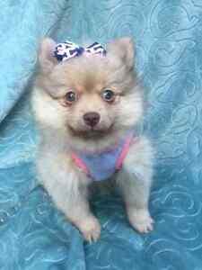 Pomeranian Puppies ~Tiny Toy~Teacup