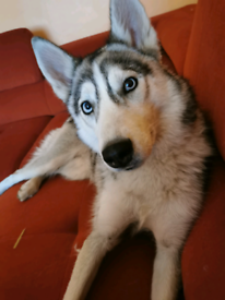 Husky girl 12 month old